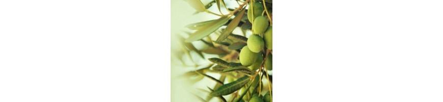 Huile d'Olive Bio Sud de la France  | Domaine de Rolland Tuchan