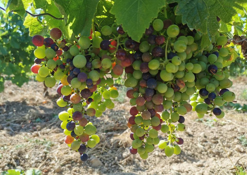 vins biologiques Domaine de Rolland AOC FITOU IGP D'OC